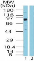 BRD4 Antibody - Western blot ofBRD4 in HeLa lysate in the 1) absence and 2) presence of immunizing peptide using antibody at0.5 ug/ml.
