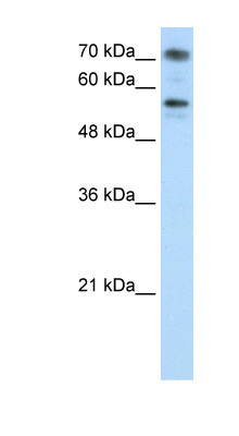 BRD7 antibody Western blot of Jurkat lysate. This image was taken for the unconjugated form of this product. Other forms have not been tested.