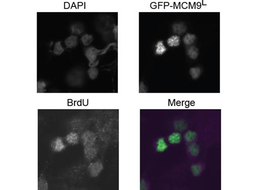 BrdU Antibody - Immunofluorescence Microscopy of rabbit anti-BrdU antibody. Tissue: 293T cells transfected expressing GFP-MCM9 L. Fixation: 0.5% PFA. Antigen retrieval: not required. Primary antibody: BrdU antibody at 10 µg/mL for 1 h at RT. Secondary antibody: Anti-rabbit ATTO550 secondary antibody at 1:10,000 for 45 min at RT. Localization: BrdU is nuclear. Staining: BrdU in merged image shows with green and purple fluorescent signal with DAPI nuclear counterstain.