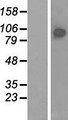BRF1 Protein - Western validation with an anti-DDK antibody * L: Control HEK293 lysate R: Over-expression lysate