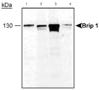 Brip 1 detected in cell lysates. Lane 1: MCF-7 lysate, Lane 2: HeLa lysate, Lane 3:293 lysate and Lane 4: SKOV3 lysate.