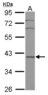 Sample (30 ug of whole cell lysate) A: A549 10% SDS PAGE BRIX1 / BXDC2 antibody diluted at 1:1000