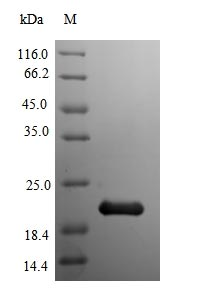 mdh / Malate Dehydrogenase Protein - (Tris-Glycine gel) Discontinuous SDS-PAGE (reduced) with 5% enrichment gel and 15% separation gel.