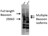 Western blot analysis of Bassoon in mouse and rat brain lysate using a 1:1000 dilution of BSN / Bassoon antibody.  This image was taken for the unconjugated form of this product. Other forms have not been tested.