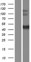 BSPRY Protein - Western validation with an anti-DDK antibody * L: Control HEK293 lysate R: Over-expression lysate