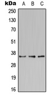 Western blot analysis of BST2 expression in HeLa (A); Raw264.7 (B); PC12 (C) whole cell lysates.