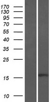 BTF3 Protein - Western validation with an anti-DDK antibody * L: Control HEK293 lysate R: Over-expression lysate