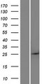 BTG4 Protein - Western validation with an anti-DDK antibody * L: Control HEK293 lysate R: Over-expression lysate