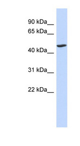 BTNL3 antibody Western blot of Fetal Lung lysate. This image was taken for the unconjugated form of this product. Other forms have not been tested.