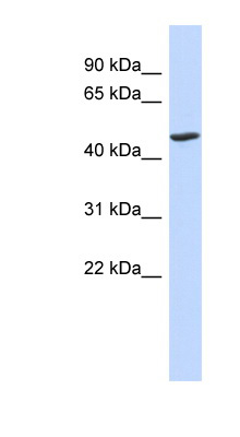 BTNL3 antibody LS-C102249 Western blot of Fetal Lung lysate.  This image was taken for the unconjugated form of this product. Other forms have not been tested.