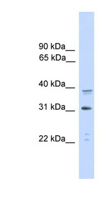 CEBPA / CEBP Alpha antibody LS-C117063 Western blot of HeLa lysate.  This image was taken for the unconjugated form of this product. Other forms have not been tested.