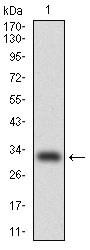 Western blot using CEBPA monoclonal antibody against human CEBPA (AA: 139-204) recombinant protein. (Expected MW is 32.7 kDa)