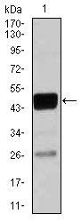 Western blot using CEBPA mouse monoclonal antibody against THP-1 (1)cell lysate.