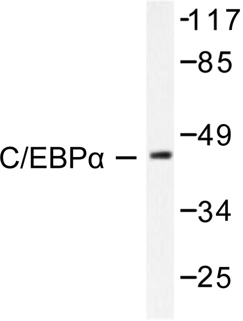 Western blot of C/EBP- (M15) pAb in extracts from 293 cells treated with Insulin 0.01U/ml 15'.
