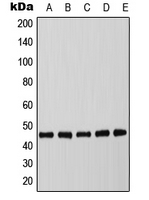 Western blot analysis of C/EBP alpha (pT226) expression in MCF7 EGF-treated (A); mouse spleen (B); mouse liver (C); rat spleen (D); rat liver (E) whole cell lysates.