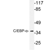 Western blot of C/EBP- (P218) pAb in extracts from COS7 cells.
