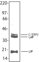 C/EBP Beta / CEBPB Antibody - P388D1 (IL-1) cell nuclear extract was resolved by electrophoresis, transferred to nitrocellulose and probed with anti-C/EBP beta antibody (Clone 1H7).