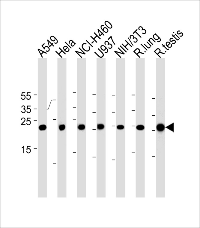 Rat Cebpd Antibody western blot of A549,HeLa,NCI-H460,U-937,mouse NIH/3T3 cell line and rat lung,testis tissue lysates (35 ug/lane). The Rat Cebpd antibody detected the Rat Cebpd protein (arrow).