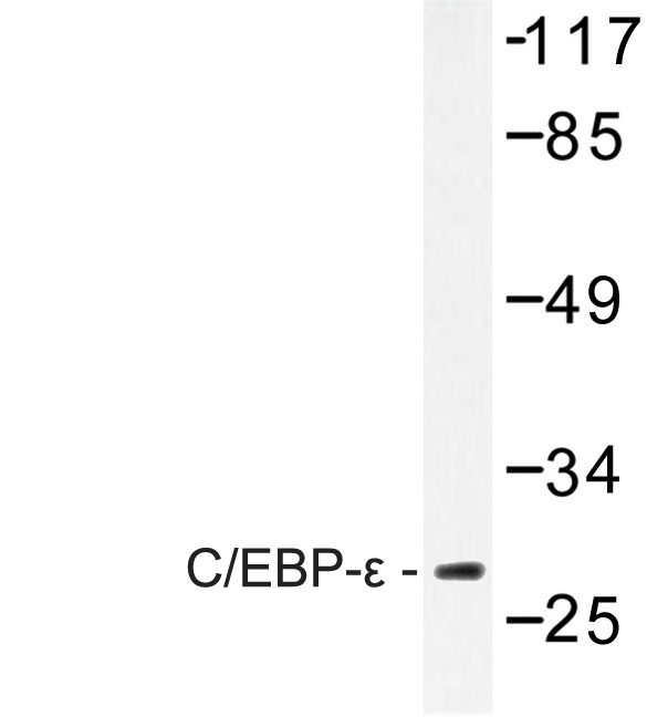 Western blot of C/EBP- (A217) pAb in extracts from LOVO cells.