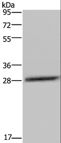 Western blot analysis of LO2 cell, using CEBPD Polyclonal Antibody at dilution of 1:300.