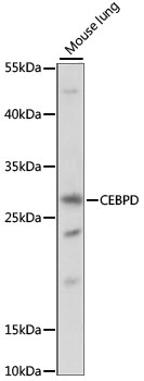 C/EBP Delta / CEBPD Antibody - Western blot analysis of extracts of mouse lung, using CEBPD antibody at 1:1000 dilution. The secondary antibody used was an HRP Goat Anti-Rabbit IgG (H+L) at 1:10000 dilution. Lysates were loaded 25ug per lane and 3% nonfat dry milk in TBST was used for blocking. An ECL Kit was used for detection and the exposure time was 90S.