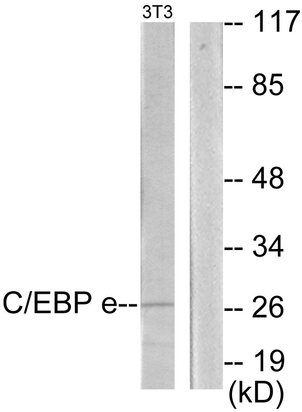 Western blot analysis of lysates from NIH/3T3 cells, using CEBPE Antibody. The lane on the right is blocked with the synthesized peptide.