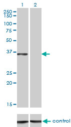 Western blot analysis of CEBPE over-expressed 293 cell line, cotransfected with CEBPE Validated Chimera RNAi (Lane 2) or non-transfected control (Lane 1). Blot probed with CEBPE monoclonal antibody (M01), clone 7A4 . GAPDH ( 36.1 kDa ) used as specificity and loading control.