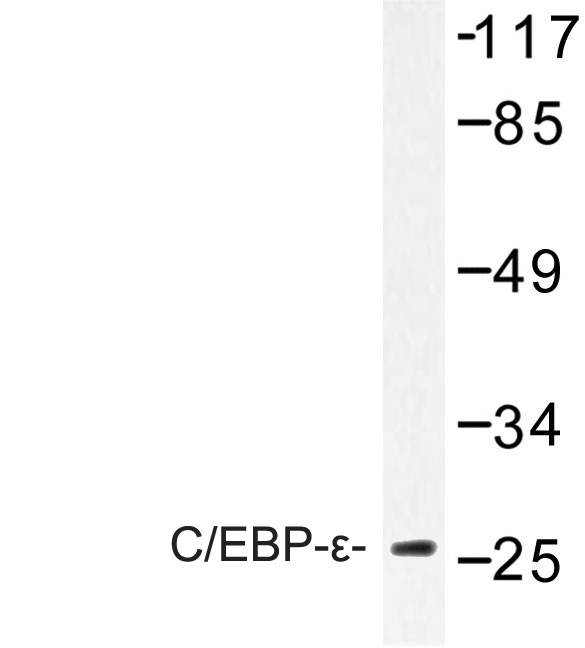 Western blot of C/EBP- (K220) pAb in extracts from NIH-3T3 cells.