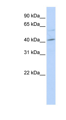 MAF antibody LS-C112332 Western blot of HeLa lysate.  This image was taken for the unconjugated form of this product. Other forms have not been tested.