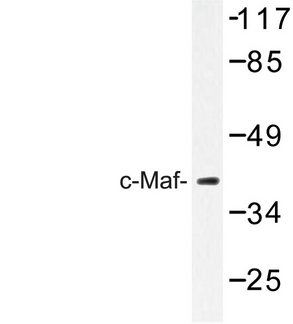 Western blot of c-Maf (R336) pAb in extracts from HUVEC cells.
