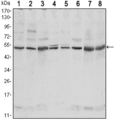 Western blot using CSK mouse monoclonal antibody against NIH/3T3 (1),HeLa (2),COS7 (3), Jurkat (4), Raw246.7 (5), A549 (6), HL-60 (7) and PC-12 (8) cell lysate.
