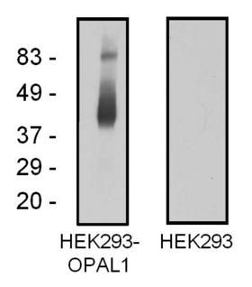 C10orf26 / OPAL1 Antibody - Western blotting analysis of OPAL1 in OPAL1-transfected HEK293 cells using mouse monoclonal antibody OPAL1-01.