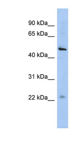 C12orf50 antibody Western blot of HepG2 cell lysate. This image was taken for the unconjugated form of this product. Other forms have not been tested.