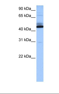 Heart cell lysate. Antibody concentration: 0.5 ug/ml. Gel concentration: 12%.  This image was taken for the unconjugated form of this product. Other forms have not been tested.