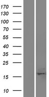C17orf49 Protein - Western validation with an anti-DDK antibody * L: Control HEK293 lysate R: Over-expression lysate