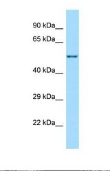Western blot of Human MCF7. C17orf53 antibody dilution 1.0 ug/ml.  This image was taken for the unconjugated form of this product. Other forms have not been tested.
