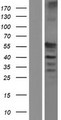 C17orf74 Protein - Western validation with an anti-DDK antibody * L: Control HEK293 lysate R: Over-expression lysate