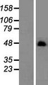 C19orf26 Protein - Western validation with an anti-DDK antibody * L: Control HEK293 lysate R: Over-expression lysate