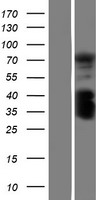 C1orf106 Protein - Western validation with an anti-DDK antibody * L: Control HEK293 lysate R: Over-expression lysate