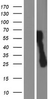 C1orf159 Protein - Western validation with an anti-DDK antibody * L: Control HEK293 lysate R: Over-expression lysate