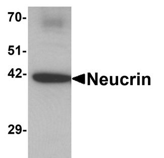 Western blot analysis of Neucrin in rat cerebellum tissue lysate with Neucrin antibody at 1 ug/ml.