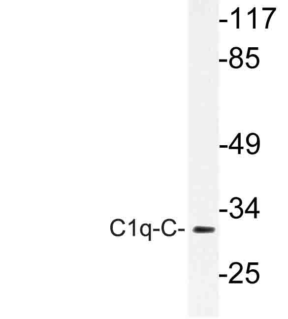 Western blot of C1q-C (Q119) pAb in extracts from rat lung cells.