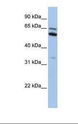C2orf42 Antibody - HepG2 cell lysate. Antibody concentration: 1.0 ug/ml. Gel concentration: 12%.  This image was taken for the unconjugated form of this product. Other forms have not been tested.