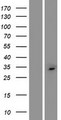 C2orf73 Protein - Western validation with an anti-DDK antibody * L: Control HEK293 lysate R: Over-expression lysate