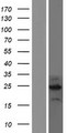 C2orf80 Protein - Western validation with an anti-DDK antibody * L: Control HEK293 lysate R: Over-expression lysate