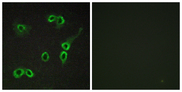 Immunofluorescence analysis of COS7 cells, using C3AR1 Antibody. The picture on the right is blocked with the synthesized peptide.