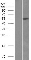 C4orf20 / UFSP2 Protein - Western validation with an anti-DDK antibody * L: Control HEK293 lysate R: Over-expression lysate