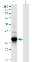 Western blot of C4orf43 expression in transfected 293T cell line by C4orf43 monoclonal antibody (M08), clone 4A6.