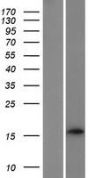 C6orf218 Protein - Western validation with an anti-DDK antibody * L: Control HEK293 lysate R: Over-expression lysate