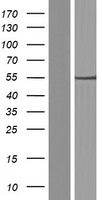 C7orf25 Protein - Western validation with an anti-DDK antibody * L: Control HEK293 lysate R: Over-expression lysate